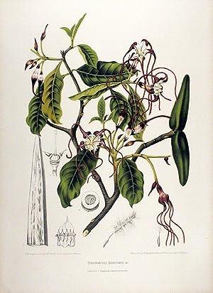 Strophanthus Dichotomus [Kombe]: HOOLA VAN NOOTEN,