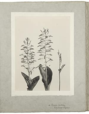 The Orchids of New England and New York. Photographed from Life and Published by Edwin Hale Linco...