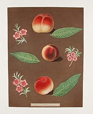 Peach] Grimwood's Royal George Peach; Grimwood's Royal Charlotte Peach; French Magnonne: ...