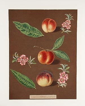 Peach] Early Newington Peach; Buckinghamshire Mignonne; Mignonne Barrington Peach: BROOKSHAW, After...