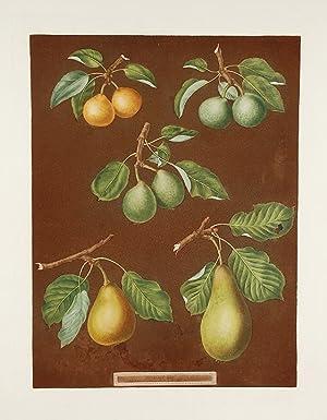 Pears] Petit Muscat (Early Muscat Pear); Green Sugar Pear; Green Chisel Pear; Citron de Charmers: ...