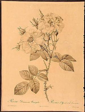 Rosa Damascena Variegata. Rosier d'York et de: REDOUTÉ, Pierre-Joseph (1759-1840)