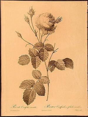 Rosa Centifolia crenata. Rosier Centfeuilles à folioles crenélées: REDOUTÉ, ...