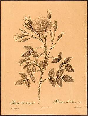 Rosa Rosenbergiana. Rosier de Rosenberg: REDOUTÉ, Pierre-Joseph (1759-1840)