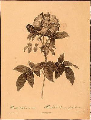 Rosa Gallica caerulea. Rosier de Provins à feuilles bleuâtres: REDOUTÉ, Pierre-Joseph ...