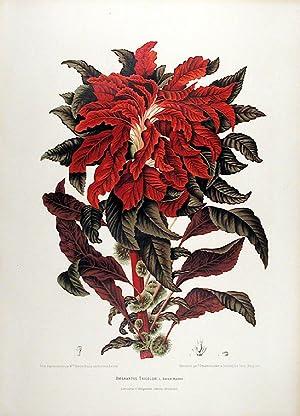 Amarantus Tricolor [Variegated Amaranth]: HOOLA VAN NOOTEN, After Berthe (1840 -1885)