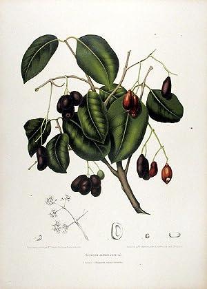 Syzygium Jambolanum [Jambul or Java Plum]: HOOLA VAN NOOTEN,