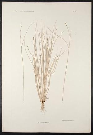 Carex remota: ETTINGSHAUSEN, Constantin Freiherr Von (1826-1897), and POKORNY, Alois (1826-1886)