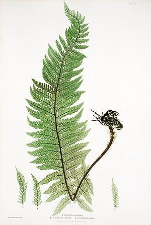 Polystichum aculeatum [Hard Shield Fern]; P.aculeatum argutum [Hard Shield Fern]; P.aculeatum ...