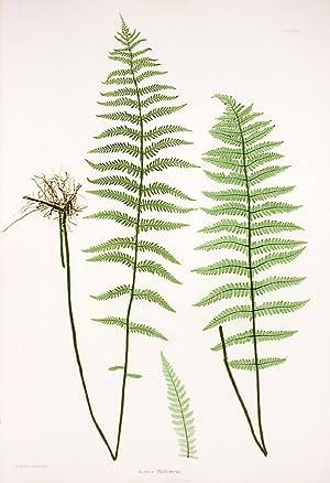 Lastrea Thelypteris [Marsh Fern]: MOORE, Thomas (1821-1887)