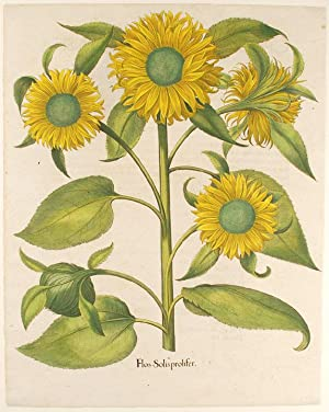 [Sunflower] Flos Solis prolifer