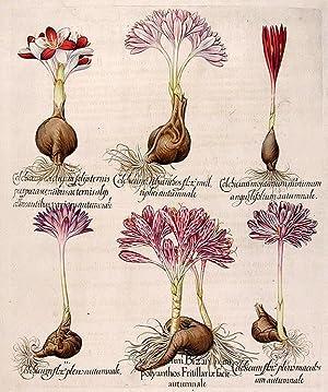 Fritillary-patterned colchicum] Colchicum Bizanthinum polyanthos Fritillariæ facie autumnale;...
