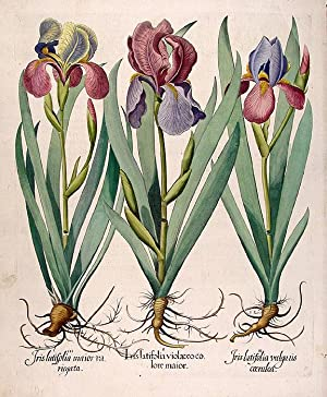 Tall bearded garden irises (flag irises)] Iris latifolia violaceo colore maior; Iris latifolia ...