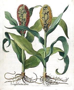 Sorgum fructu rubro // Sorgo fructu albo: BESLER, Basil (1561-1629)