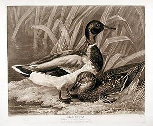 Wild Ducks: BARENGER, James engraved by Charles TURNER