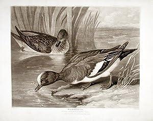 Widgeons: BARENGER, James engraved by Charles TURNER