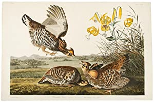 Pinnated Grouse [Greater Prairie-Chicken]: AUDUBON, John James (1785-1851)
