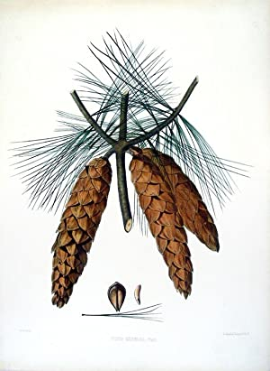 Pinus excelsa (Bhutan or Blue Pine): RAVENSCROFT, Edward James [1816-1890] - James BLACK