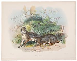 Felis Rufa [Bobcat ]: WOLF, Joseph (1820-1899)