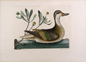 Anas Bahamensis [White-Cheeked Pintail]: CATESBY, Mark (1683-1749)