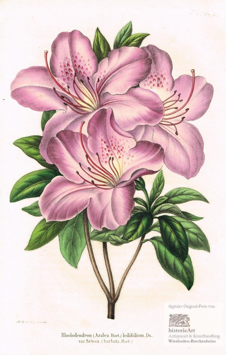 Rhododendron (Azalea Hort.) ledifolium. Ds. var. Setosa.: unleserlich signiert