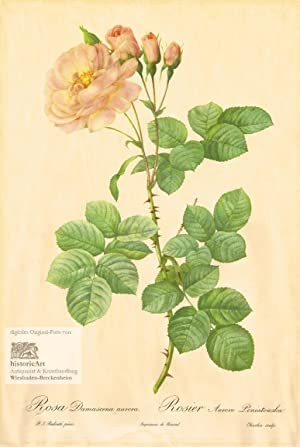 Rosa Damascena aurora. Rosier Aurore Poniatowska. Original-Lithographie: Pierre -Joseph Redouté