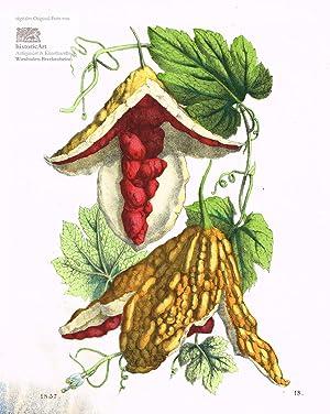 Momordica balsamina. Balsamapfel oder Wunderapfel. Altkolorierte Lithographie: Anonymus