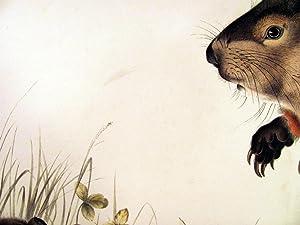1842 Imperial Folio Audubon Ground Hog Lithograph