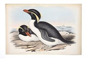 Crested Penguin (Eudyptes Chrysocome): GOULD, John &
