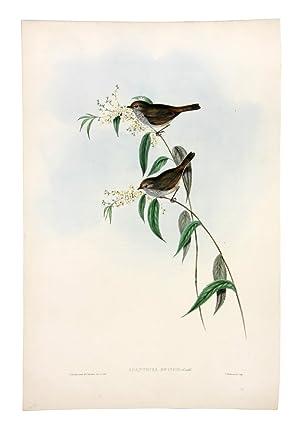 Ewing's Acanthiza (Acanthiza Ewingii): GOULD, John &