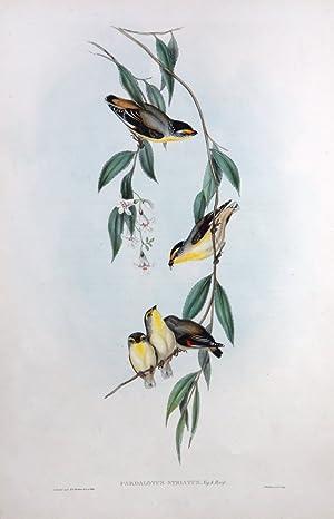 Striated Pardalote (Pardalotus Striatus): GOULD, John &