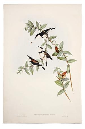 Banded Honey-eater (Myzomela Pectoralis): GOULD, John &