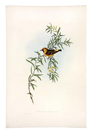 Orange-fronted Epthianura (Epthianura Aurifrons): GOULD, John &