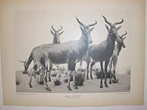 TAXIDERMY AND SCULPTURE. THE WORK OF CARL E. AKELEY IN FIELD MUSEUM OF NATURAL HISTORY, CHICAGO