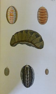 General Conchology; Or, a description of shells, arranged according to the Linnean system: WOOD, W
