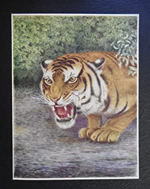 Mauled By A Tiger, Encounters In The: STRACHAN Arthur W.