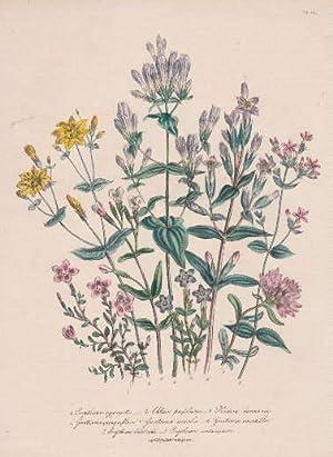 Erythrea aggregata - Chloria perfoliata - Pladera: Blumen -