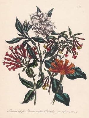 Bouvardia triphylla - Bouvardia versicolor - Burchellia: Blumen -