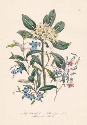 Sollya heterophylla - Billardiera mutabilis - Pittospermum: Blumen -