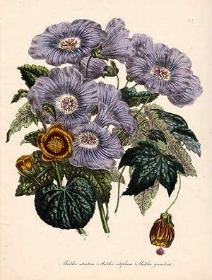 Abutilonstriatum - Abutilon vitifolium - Abutilon giaveolens.: Blumen -