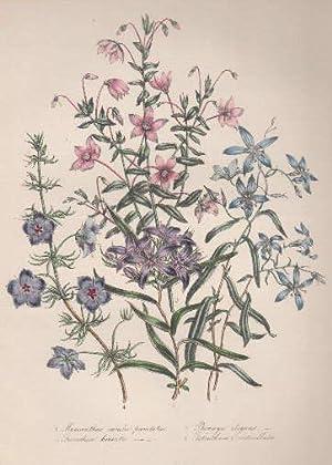 Marianthus caeruleo punctatus - Pronaya elegans -: Blumen -