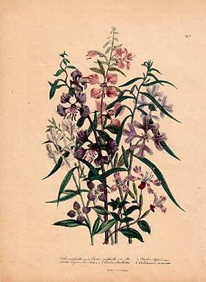 Clarkia pulchella - Clarkia pulchella var. Alba: Blumen -