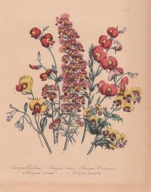 Chorozema Dicksonii - Chorozema ovalum - Chorozema: Blumen -