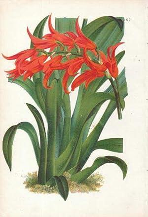 mit roten Blüten. Farbige Lithographie aus : Orchidee -