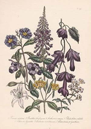 Torenia asiatica - Buddlea Lindleyana - Anthocercis: Blumen -