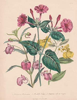 Balsamina Mastersiana - Mirabilis Jalapa - Impatiens: Blumen -