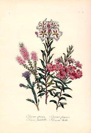 Diosma speciosa - Diosma fragrans - Diosma: Blumen -