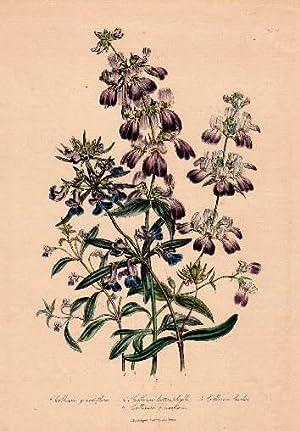 Collinsia grandiflora - Collinsia heterophylla - Collinsia: Blumen -