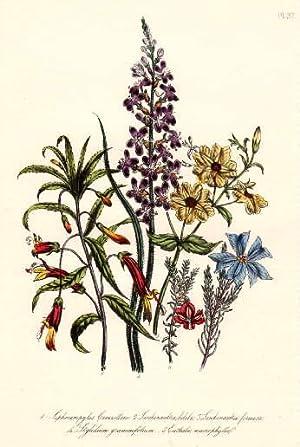 Siphocampylos cacanillesu - Leschenaultia biloba - Leschenaultia: Blumen -