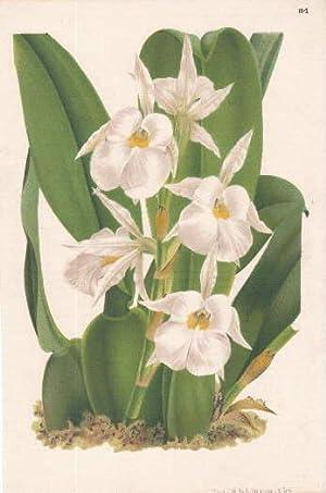 Ohne Bezeichnung. Farbige Lithographie von Strobant.: Orchidee -